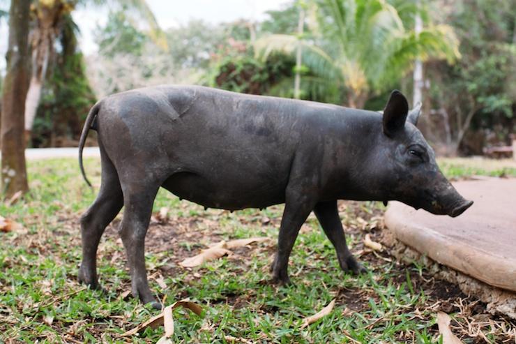 Cerdo Yucatán